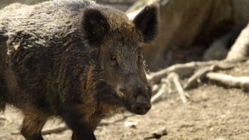 vier unf u00e4lle durch wildschweine in einer nacht