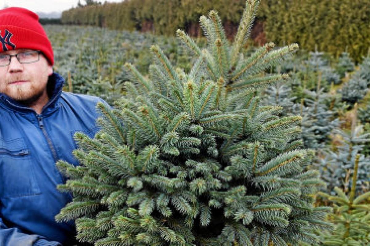 Weihnachtsbaum Im Topf Mieten