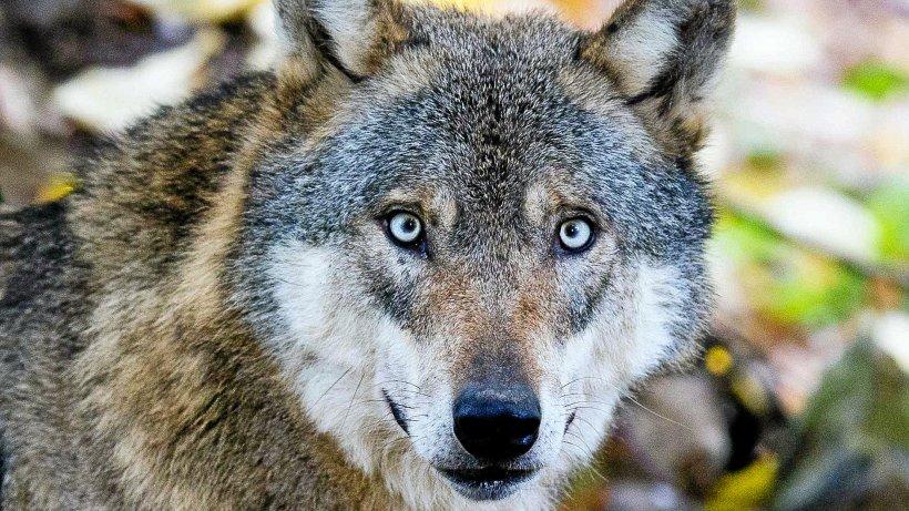 Wolf tötet in Harztor vier Schafe
