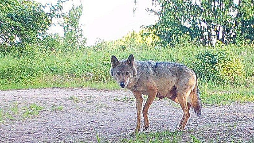 60.000 Euro fließen für Schäden durch Wölfe in Thüringen