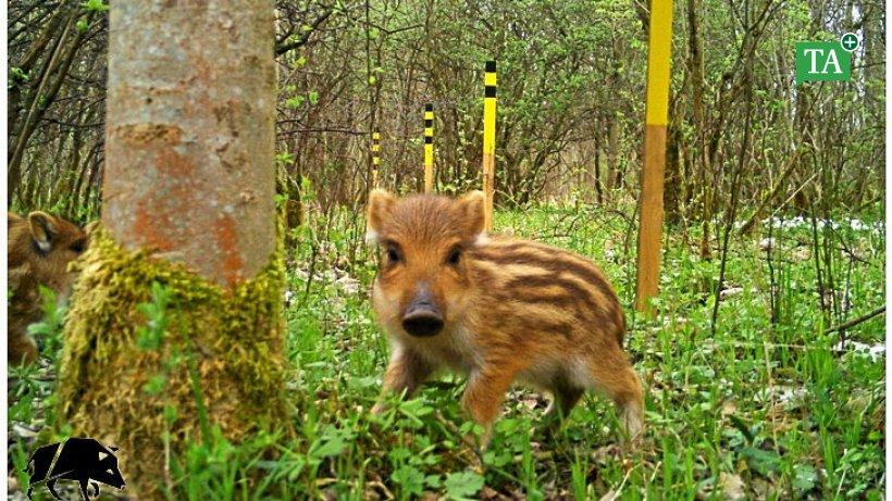 In-der-Fotofalle-Forschungsarbeit-zu-Wildschweinen-ausgewertet